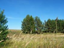 Öron av vete i skogen Royaltyfri Bild