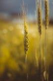 Öron av vete i solljuset Arkivbilder