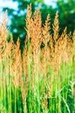 Öron av vetegräs på den härliga suddiga bakgrunden Fotografering för Bildbyråer
