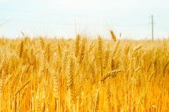 Öron för vete för sommarskördtapet gulnar det soliga fotoet Arkivfoton