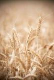 Öron för vetekornskörd på fält Royaltyfria Bilder