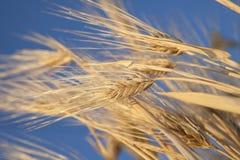 öron field guld- Arkivfoton
