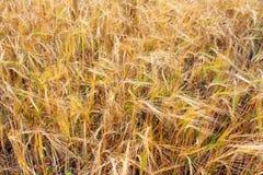 öron field guld- vete Arkivbilder