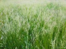 Öron härligt gräs Fotografering för Bildbyråer