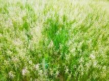 Öron härligt gräs Royaltyfri Fotografi