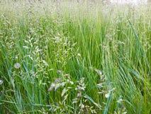 Öron härligt gräs Arkivbilder