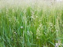 Öron härligt gräs Royaltyfria Bilder