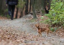 Öron ner/anseende för liten hund på skogsbrukbanan Arkivbild