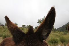 Öronen av en åsna arkivbild
