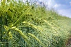Öronen av korn under vikten av korn knackas ut ur den sammanlagda massen royaltyfri fotografi