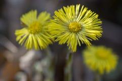 Ört för blomning för Tussilagofarfara medicinsk jord, grupp av gula sunda blommor på stammar i solljus arkivbild