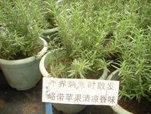 Ört nödvändig olja, rosmarin, förflyktigandeväxt, botanik Royaltyfria Bilder