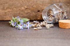 Ört - nya blommor för Borage samman med torkade Borageblommor I arkivbild