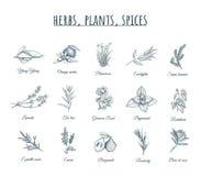 Ört-, växt- och kryddavektorillustration stock illustrationer