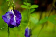 Örtar ärtablommor. Arkivfoto