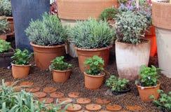 Örtar och dekorativa växter in till krukan Royaltyfria Foton