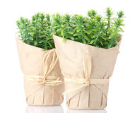 örten planterar timjan royaltyfria foton