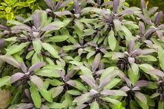 Örter som används i köket: Sage Salvia officinalis Purpurascens Royaltyfri Fotografi