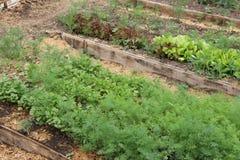 Örter som växer i växthuset, en säng i en kökträdgård Arkivfoto