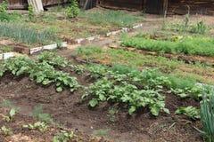 Örter som växer i växthuset, en säng i en kökträdgård Royaltyfria Foton