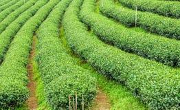 Örtteväxten eller fält för kameliasinensisen Arkivfoto