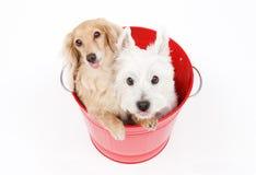 Ösregna och hundkapplöpning royaltyfri foto