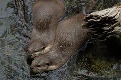 Österlänning Liten-klöst Otter2 Arkivfoto