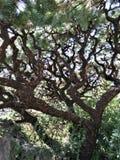 Österlänningen sörjer trädet royaltyfria foton