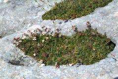 Österreich, Botanik, alpine Blumen Stockfotos
