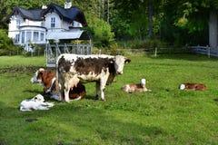Österreich, Salzkammergut, Vieh Lizenzfreie Stockbilder