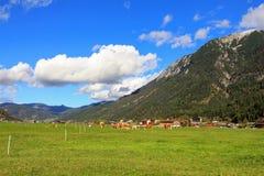 Österreichische Kühe, die Gras auf dem Achenkirch-Tal essen Lizenzfreie Stockfotografie