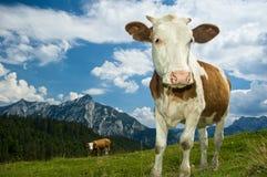 Österreichische Kuh in den Alpen Stockfotografie
