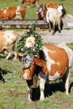 Österreichische Kuh mit einem Kopfschmuck während Vieh fahren in Tirol, Österreich Lizenzfreies Stockfoto