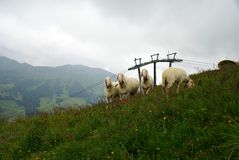 Österreichische Landschaft mit Schafen auf dem Gras Lizenzfreie Stockfotografie