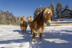 ÖsterrikareHaflinger hästar Royaltyfri Bild