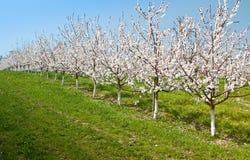 Österrike blomningCherry Arkivfoton