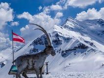 Österrike - en monument av bergsfåret med snöig berg som en kuliss royaltyfri bild