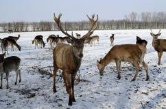Österrike röd hjort Royaltyfri Fotografi