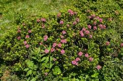 Österrike Tirol, botanik Arkivfoton