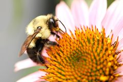 Östlich mogeln Sie Biene durch lizenzfreie stockfotos