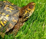 Östliche Kasten-Schildkröte 3 Lizenzfreies Stockfoto