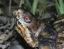 Östliche Kastenschildkröte lizenzfreie stockfotografie