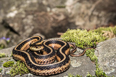 Östliche Strumpfband-Schlange (Thamnophis sauritus) Stockbilder