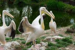 Östliche weiße Pelikane Lizenzfreies Stockfoto
