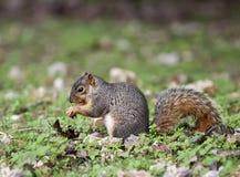Östlicher Fox-Eichhörnchen Stockfotos