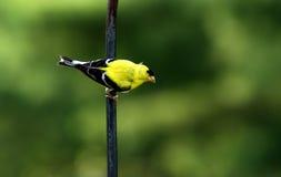 Östlicher Goldfink Stockfotografie