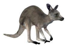 Östlicher grauer Känguru Lizenzfreie Stockbilder