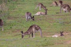 Östlicher grauer Känguru Stockfotos