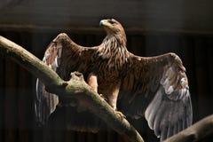 Östlicher Kaiseradler (Aquila heliaca) Stockfotos