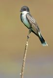 Östlicher Kingbird gehockt Stockfotos